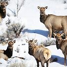 Elk On A Colorado Winter Day by Betsy  Seeton