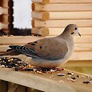 Mourning Dove at the Feeder by Diane Blastorah