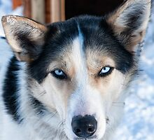 Husky Eyes by Kristin Repsher