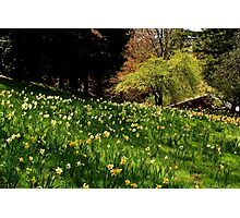 Daffodil Hill Photographic Print