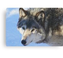 ....the eye of the Wolf ....(click to see large) Canvas Print