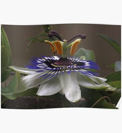 Side View of Beautiful Passiflora Flower Poster