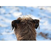Border Terrier in the Snow Photographic Print
