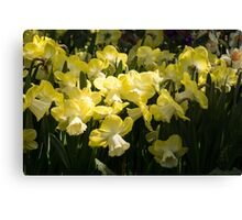 Sunny Daffodil Garden - Enjoying the Beauty of Spring Canvas Print
