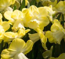 Sunny Daffodil Garden - Enjoying the Beauty of Spring Sticker