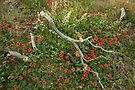 Red Coral Pea (Kennedia rubicunda ) by Elaine Teague