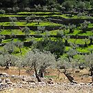 Olive tree field by lotusblossom