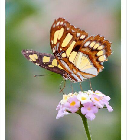 Malachite Butterfly feeding from flowers Sticker