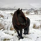 Just another day for a Lakeland Fell pony by Martin Lawrence