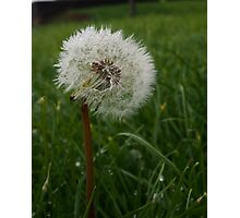 Dandelion With Dew Drops - Flora Nature Print Photographic Print
