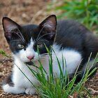 tuxedo kitten  by Maria Dryfhout