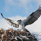 Returning to the nest - Osprey by Ian Berry