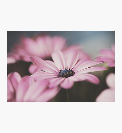 Light pink African Daisy Photographic Print
