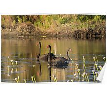 Sunset Cygnets Poster