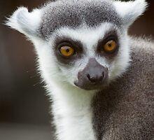 Lemur close up by Sara Sadler