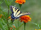 Yellow female Eastern Tiger Swallowtail by Susan S. Kline