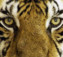 Tiger eyes by franceslewis