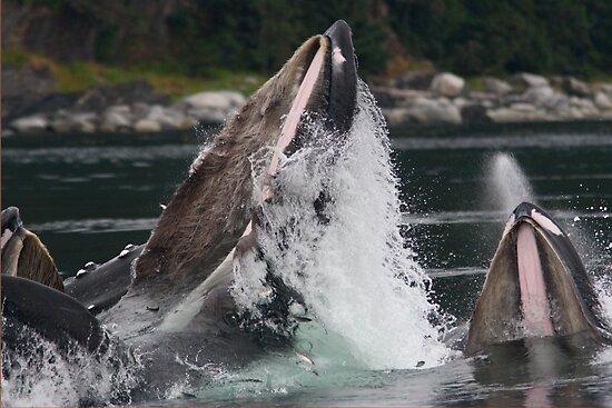 Humpback Whales Breaching by William C. Gladish
