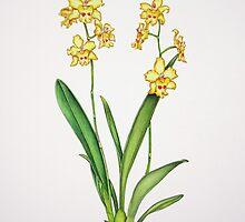 Odontonia Orchid by joeyartist