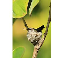 Hummingbird Sitting On Eggs Photographic Print