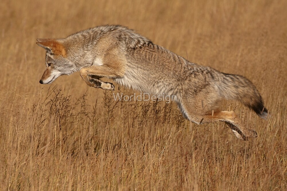 Coyote in Flight by William C. Gladish, World Design