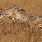 Coyote in Flight by WorldDesign