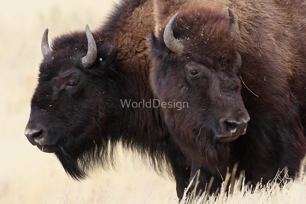 Bison Friendship by William C. Gladish, World Design