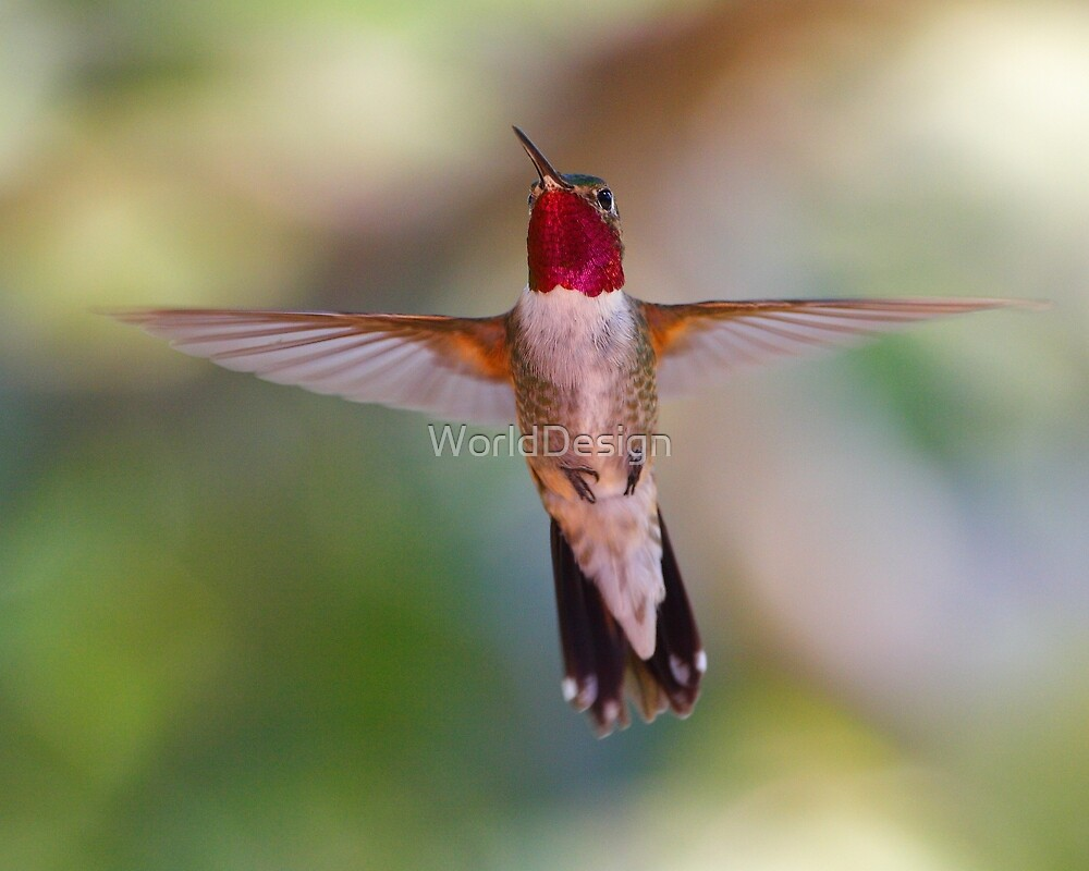 Broad-tailed Hummingbird in Flight by William C. Gladish, World Design