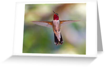 Broad-tailed Hummingbird in Flight by William C. Gladish