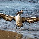 Pelican Landing by WendyJC