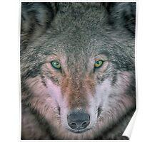 Gray Wolf head shot portrait Poster