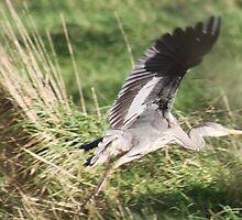 Heron in Flight. by kenmay