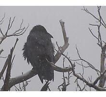 Snowstorm Raven Photographic Print