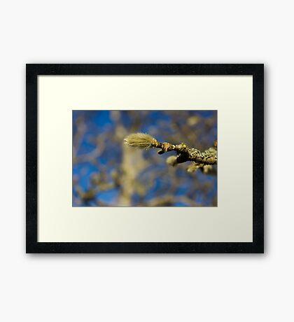 Furry spring bud Framed Print