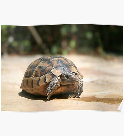Young Tortoise Emerging From Its Shell Poster