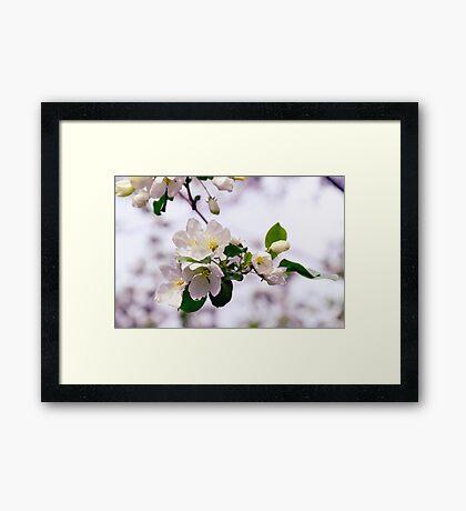Apple Bloom Framed Print
