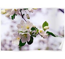 Apple Bloom Poster