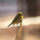 South African Bird (Cape White-eye, Zosterops pallidus) - 003 by Qnita