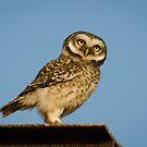 Little Owl by M-A-K