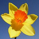 Yellow and Orange Colored Daffodil Close Up by taiche