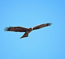 Black Kite Soaring by Sue Robinson