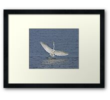 Great White Egret in The Gambia Framed Print