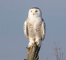 Snowy Owl on a post by RobJulien