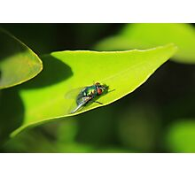 House Fly on a Leaf Photographic Print