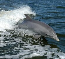 Dolphin by franceslewis