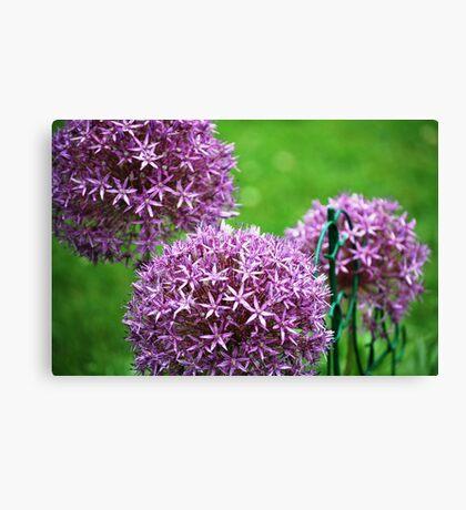 Allium in the Garden Canvas Print