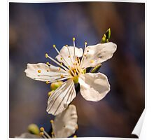 Blossom on a stick Poster