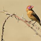 Violet-eared Waxbill - Colors in Nature by LivingWild