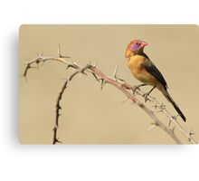 Violet-eared Waxbill - Colors in Nature Canvas Print