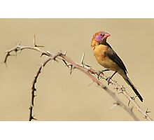 Violet-eared Waxbill - Colors in Nature Photographic Print